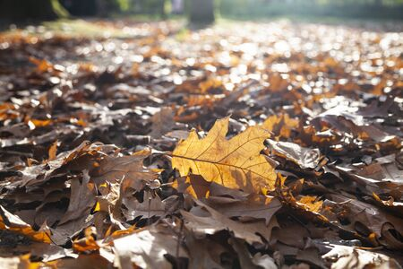Fallen oak leaves in the sunlight. Autumn background. 스톡 콘텐츠