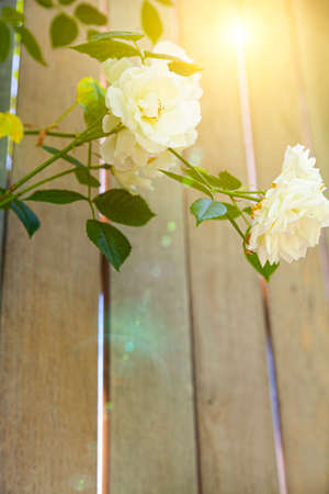Beautiful white rose on the background of a wooden wall. Climbing rose in summer. Zdjęcie Seryjne