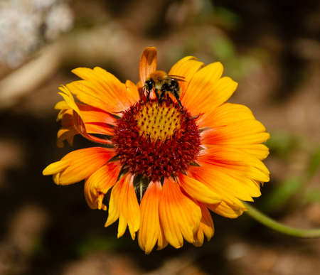 A bee drinks nectar from a yellow flower. Blurred background. Macro shooting Imagens