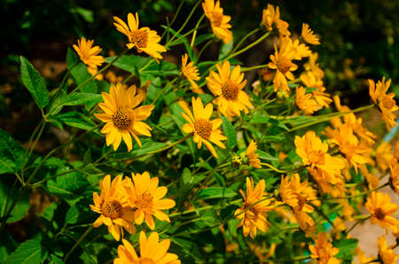 Yellow sunny flowers Heliopsis in the garden