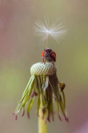 Ladybug on a dandelion. Summer