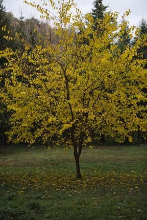single yellow tree Stock Photo