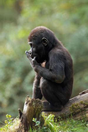 gorilla sitting on a tree