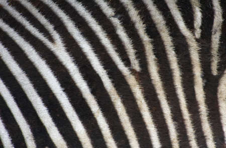 real photo of a zebras skin photo