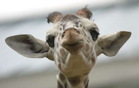Cute  giraffe looking straight at the camera Stock Photo - 604429