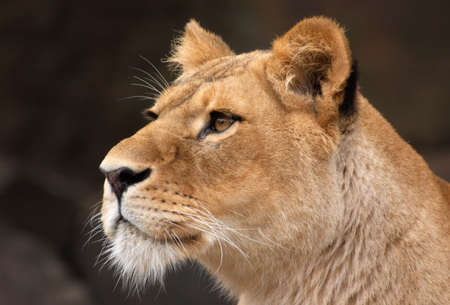 beautiful portrait of a female lion photo
