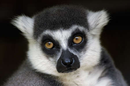 close-up of a cute ring-tailed lemur monkey photo