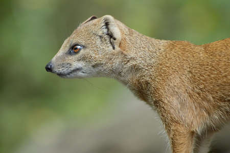 close-up of a cute mongoose photo