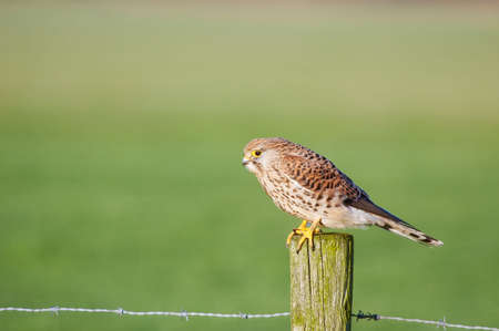 falcon on a pole in grassland Stock Photo