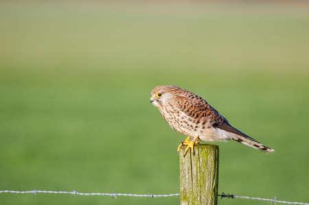 melierax: falcon on a pole in grassland Stock Photo