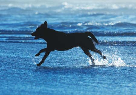 Perro corriendo en el agua en la playa Foto de archivo - 715765