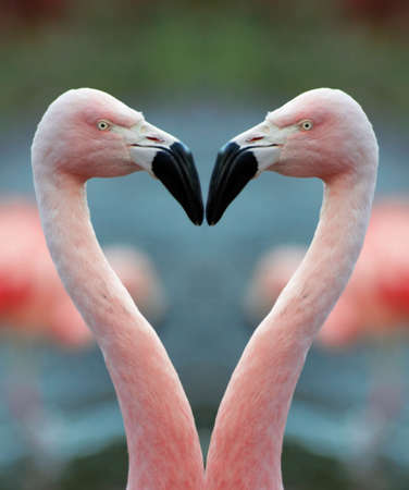 finding a mate: Flamingo heart