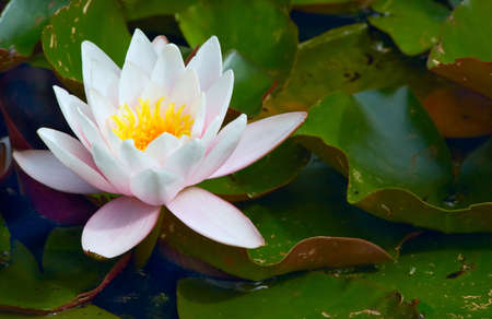 close-up of a beautiful waterlily Stock Photo - 719913