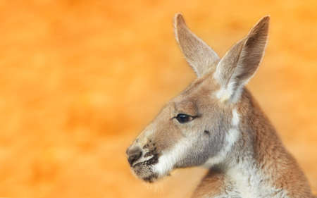 chewing: portrait of a kangaroo