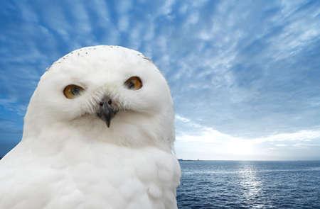 snow owl with a beautiful bluebackground Stock Photo - 736817