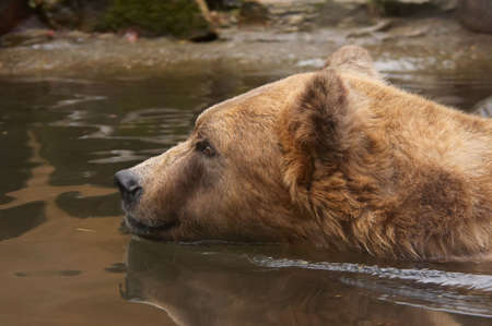 close-up of a bear in water photo