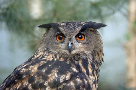 portrait of a beautiful owl Stock Photo