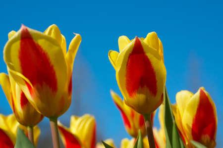 bunte holländische Tulpen gegen einen blauen Himmel