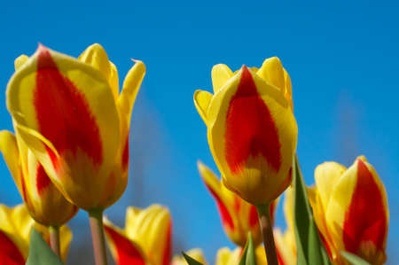 colorful dutch tulips against a blue sky photo