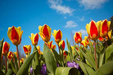 niederländisch bunte Tulpen vor blauem Himmel  Standard-Bild