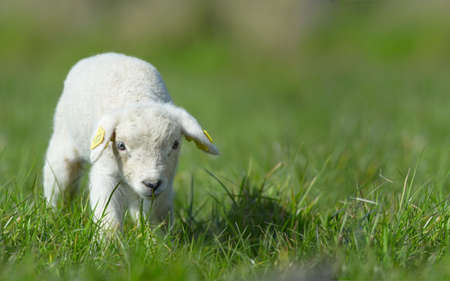 cute lamb on grass in spring  photo