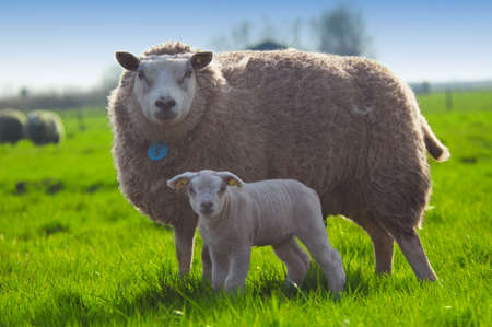 naivety: mother sheep and her cute little lamb in spring