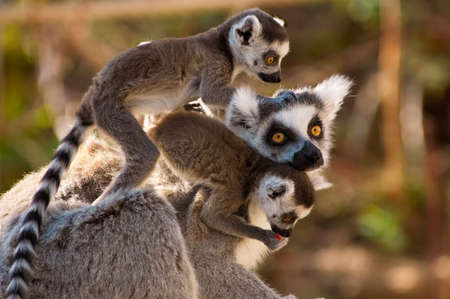A goup of cute ring-tailed lemurs with the  monkeys on mothers back photo