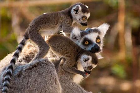 Ein goup der netten Ring-angebundenen lemurs mit den Babyaffen auf Müttern zurück