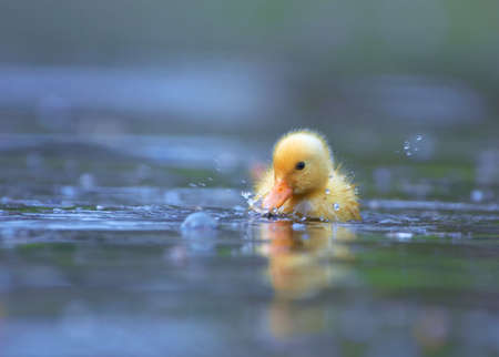 little yellow duckling swimming towards the camera photo