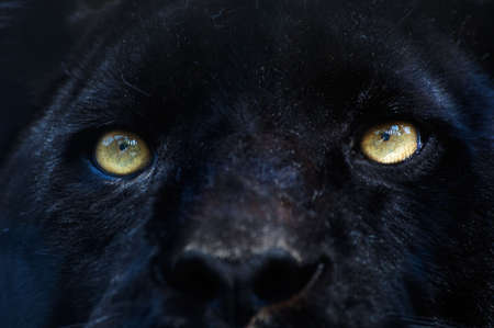black and white panther: close-up of a black panther