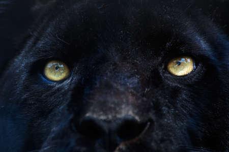 Nahaufnahme eines schwarzen Panther Standard-Bild