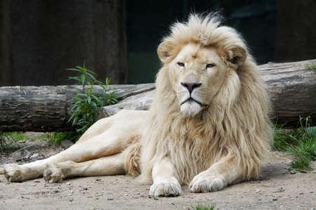 hermoso macho león blanco africano