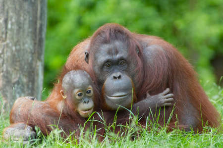 simian: mother orangutan with her cute