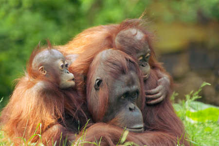 simian: mother orangutan with her cute   Stock Photo