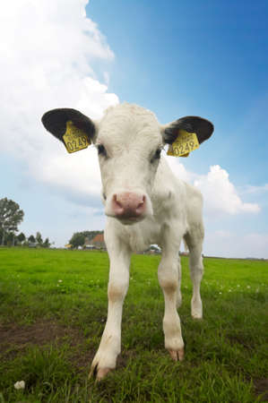 funny picture of a  cow taken with a wide angle lens  photo