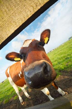Funny Bild eines Babys, die Kuh mit einem Weitwinkel-Objektiv
