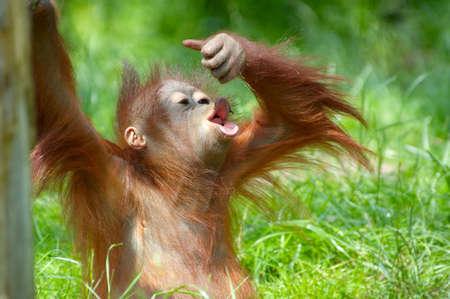 cute bebé orangután jugando sobre la hierba  Foto de archivo