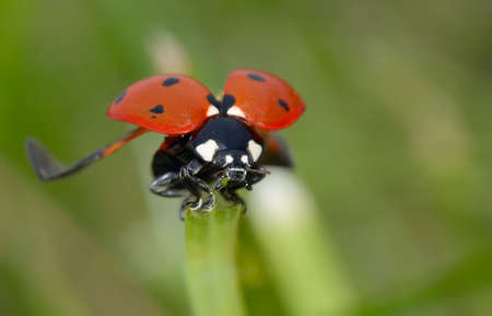 macro photo of a lladybug on grass flapping its wings