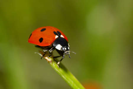 macro photo of a lladybug on grass Stock Photo - 980972