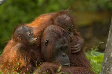 simian: mother orangutan with her cute babies Stock Photo