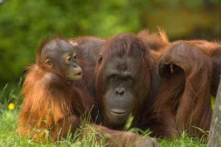 hominid: orangutan madre con la sua cute Archivio Fotografico