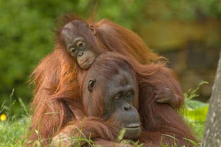 female nipple: orangutan madre con la sua cute baby