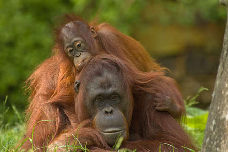 mother orangutan with her cute  photo