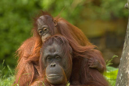 utang: mother orangutan with her cute