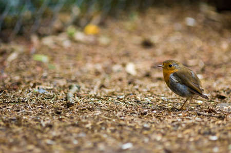A cute robin redbreast on the forest floor Stock Photo - 1349537