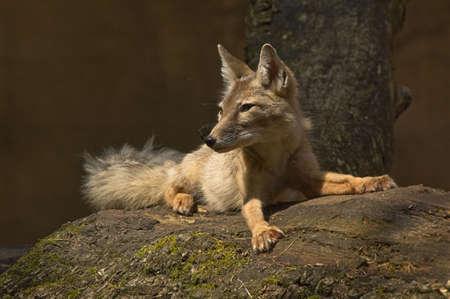 elusive: portrait of a beautiful corsac fox Stock Photo