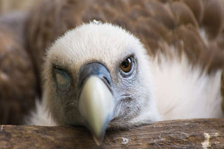assailant: Funny looking griffon vulture