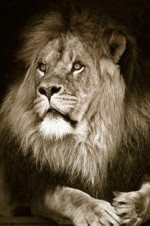 portrait of a big african male lion photo