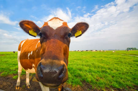 funny picture of a cow taken with a wide angle lens