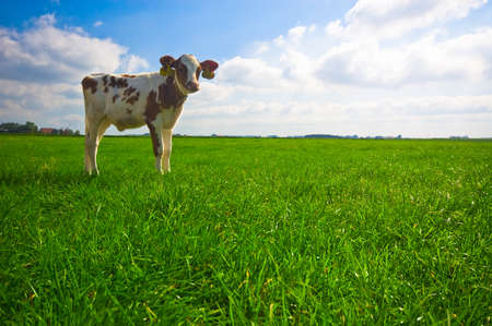cud: cute  cow on farmland Stock Photo